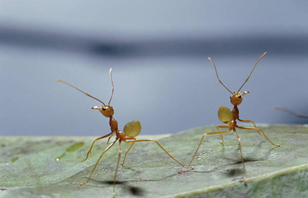 Far North Queensland Wall Art - Photograph - Two Green Tree Ants Standing by Jason Edwards