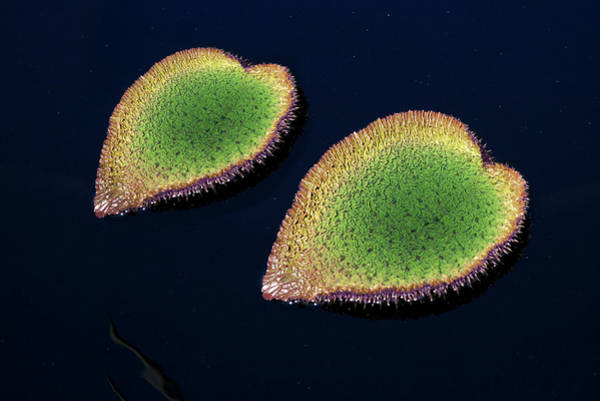 Love Photograph - Two Heart Shaped Water Plants In Pond by Maciej Toporowicz, NYC