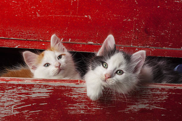 Tan Cat Wall Art - Photograph - Two Kittens In Red Drawer by Garry Gay
