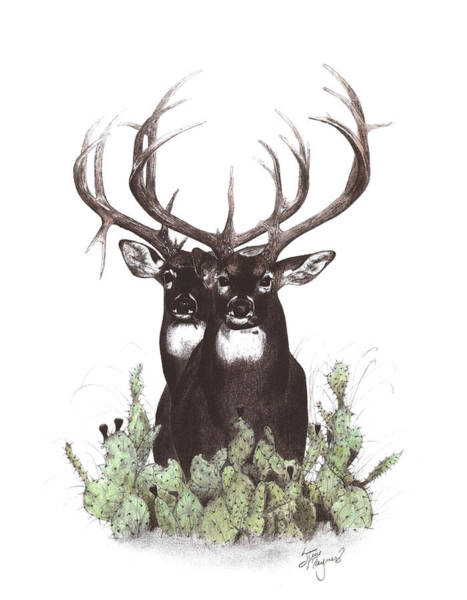 Whitetail Drawing - Two Of A Kind by Steve Maynard