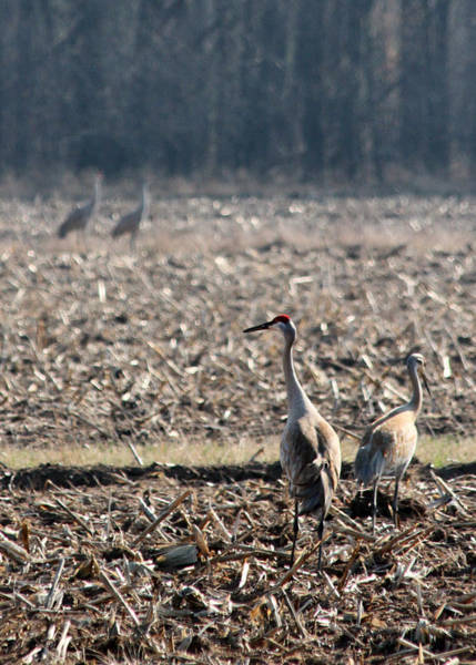 Mark Coleman Wall Art - Photograph - Two Pairs Of Sandhill Cranes by Mark J Seefeldt