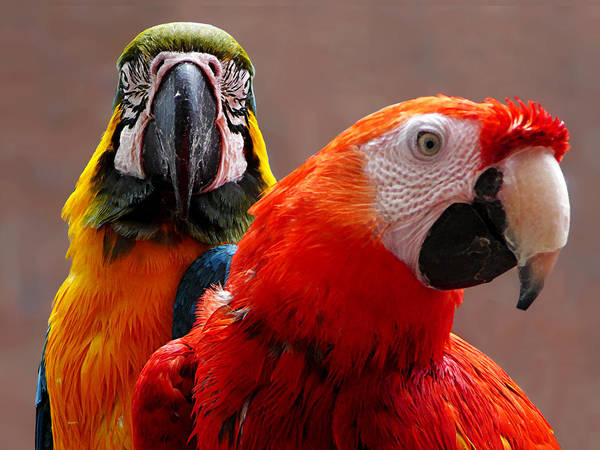 Photograph - Two Parrots Closeup by Susan Savad
