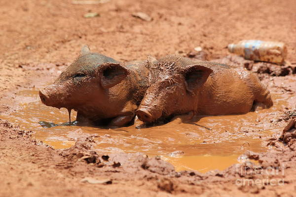 Pigpens Photograph - Two Pigs In A Puddle by Nola Lee Kelsey