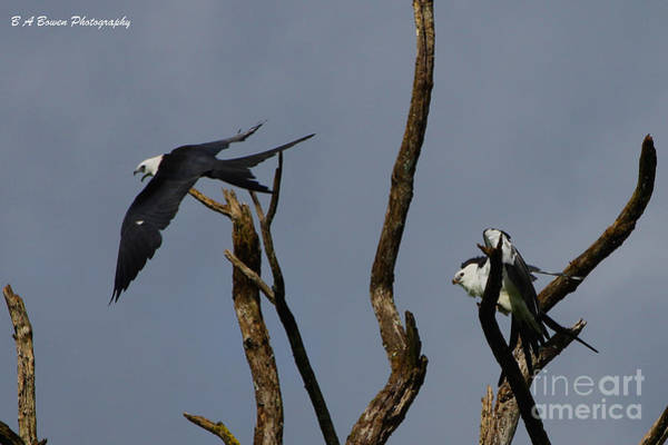 Photograph - Two Swallow Tailed Kites In A Snag by Barbara Bowen