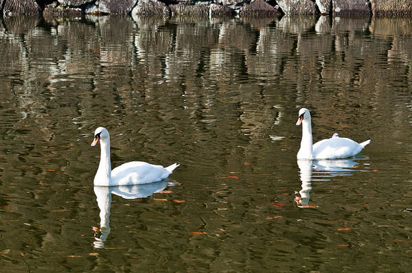 Photograph - Two Swan Floating On A Pond  by U Schade