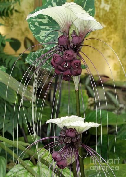 Photograph - Two White Bat Flowers by Sabrina L Ryan