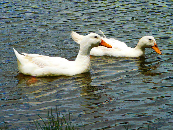 Photograph - Two White Ducks by Susan Savad