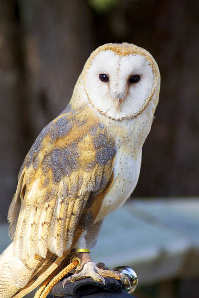 Wall Art - Photograph - Tyto The Barn Owl by Julius Reque