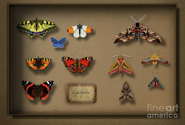 Painting - Uk Butterflies Uk Moths - British Butterflies British Moths - European Butterflies  European Moths by Urft Valley Art