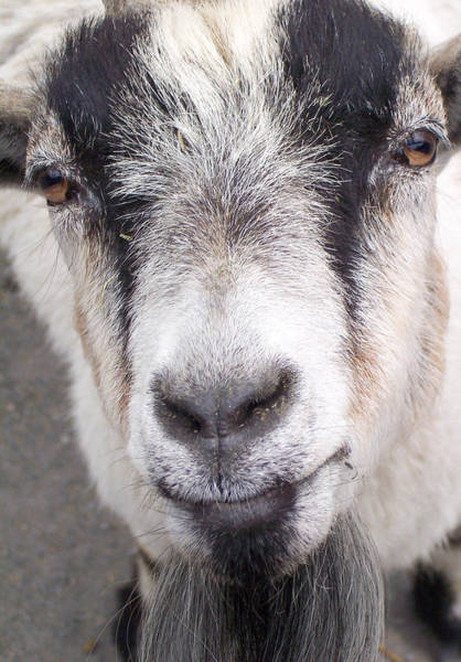 Petting Zoo Photograph - Up Close And Personal by Trish Tritz