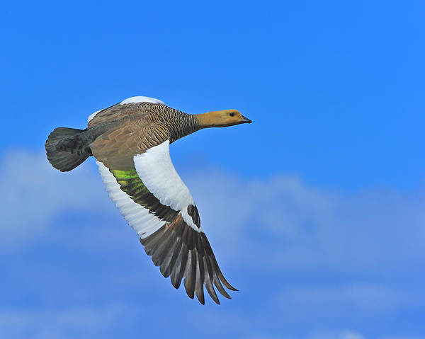 Gander Photograph - Upland Goose by Tony Beck