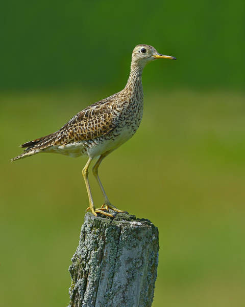Photograph - Upland Sandpiper by Tony Beck