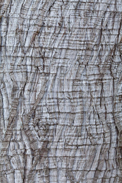 Cedar Tree Photograph - Usa, Washington State, Western Red Cedar Thuja Plicata Bark by Don Paulson Photography