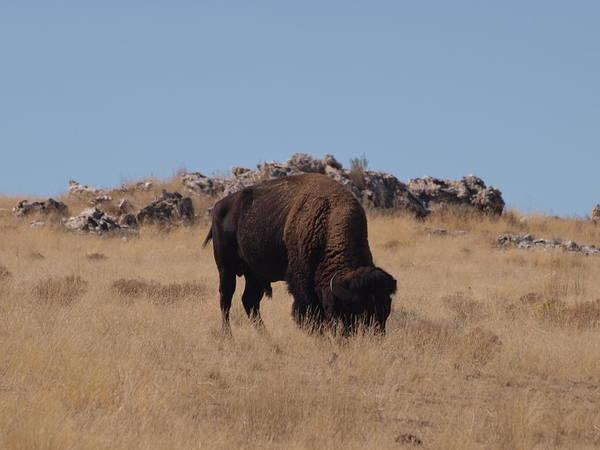 Wall Art - Photograph - Utah Bison by Joshua House