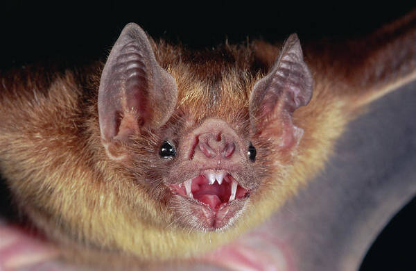 Photograph - Vampire Bat Desmodus Rotundus Portrait by Michael & Patricia Fogden