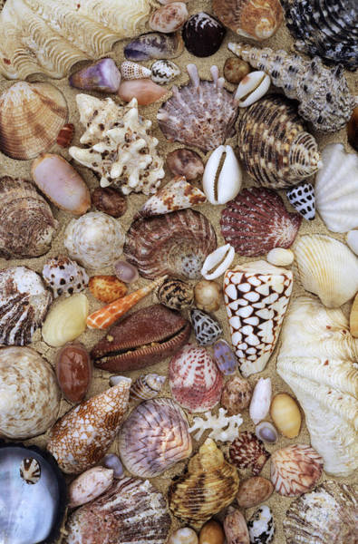 Photograph - Various Conch, Cowry, Clam And Other by Rinie Van Meurs