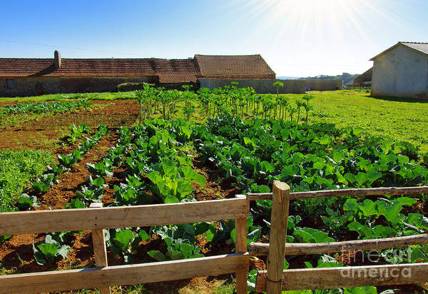 Cabbage Photograph - Vegetable Farm by Carlos Caetano