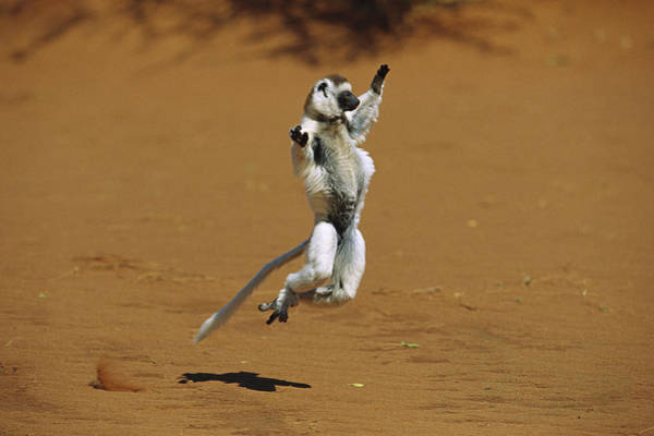 Wall Art - Photograph - Verreauxs Sifaka Leaping by Cyril Ruoso