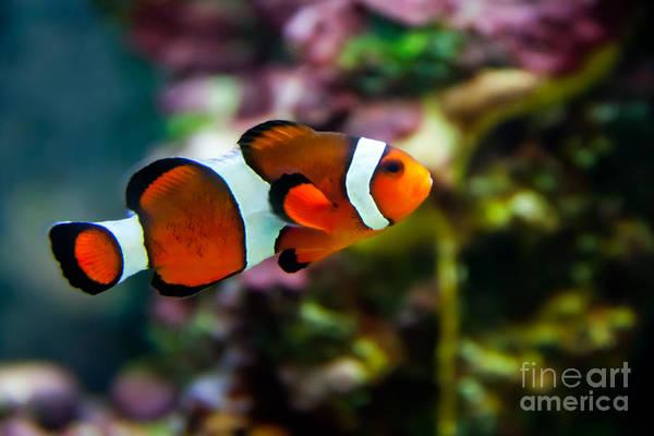 Photograph - Vibrant Clownfish  by Rachel Duchesne