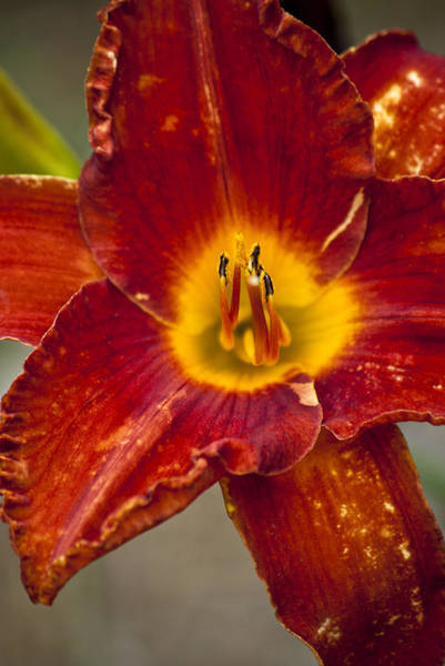 Photograph - Vibrant Lily by Jason Pryor