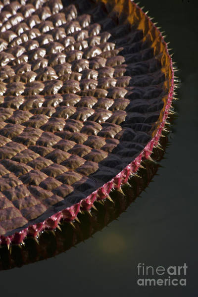 Victoria Amazonica Wall Art - Photograph - Victoria Amazonica Leaf Vertical by Heiko Koehrer-Wagner