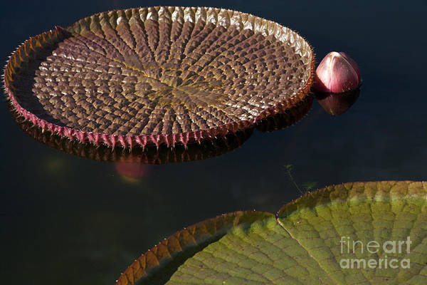 Victoria Amazonica Wall Art - Photograph - Victoria Amazonica Leaves by Heiko Koehrer-Wagner