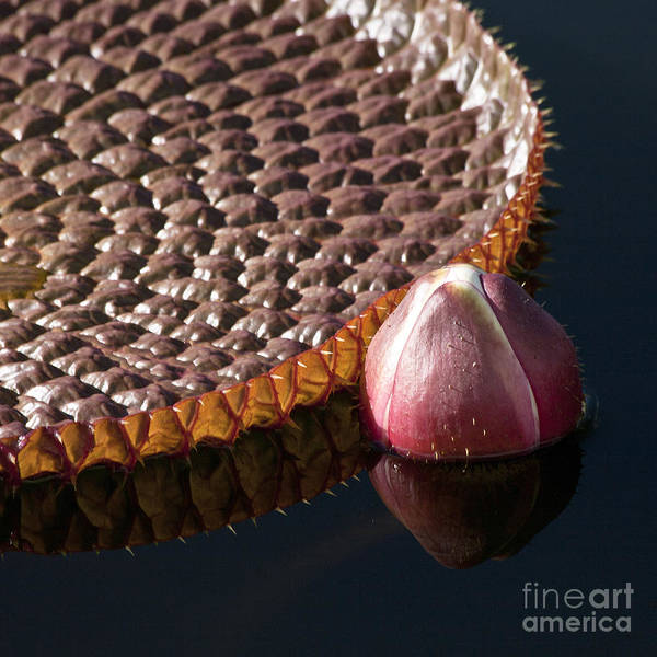 Victoria Amazonica Wall Art - Photograph - Victoria Amazonica Giant Water Lily by Heiko Koehrer-Wagner