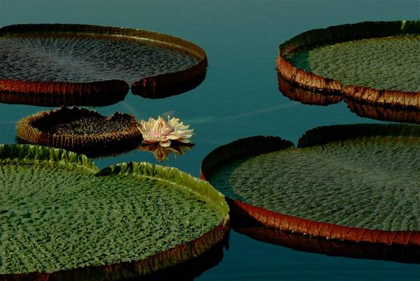 Victoria Amazonica Wall Art - Photograph - View Of A Flower And The Floating by James P. Blair