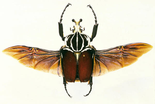 Goliath Photograph - View Of A Goliath Beetle, Goliathus Sp. by Sinclair Stammers