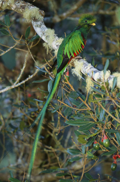 Quetzals Photograph - View Of A Male Resplendent Quetzal by Roy Toft