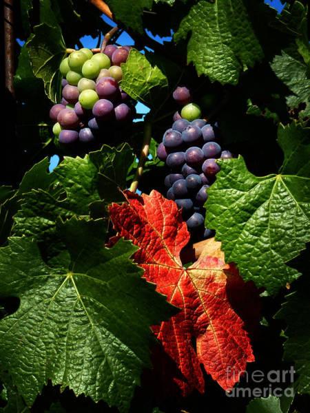 Photograph - Vineyard 32 by Xueling Zou