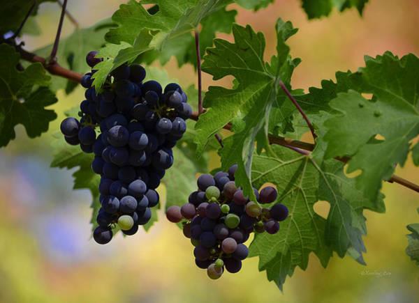 Photograph - Vineyard 36 by Xueling Zou