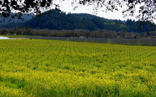 Photograph - Vineyard Of Yellow Mustard by Jeff Lowe