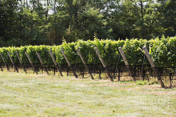 Photograph - Vineyards by Leslie Leda