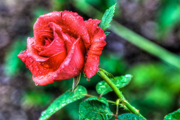 Photograph - Vintage Rose In Red by Dennis Dame