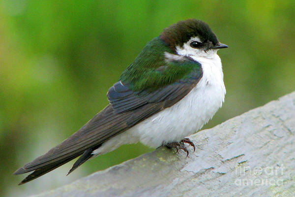 Violet-green Swallow Photograph - Violet-green Swallow by Frank Townsley