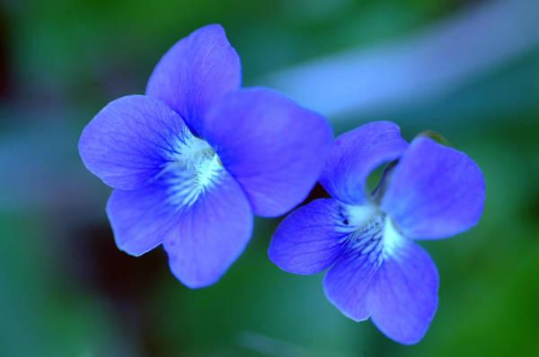 Allerton Garden Photograph - Violet Pair by Peg Toliver