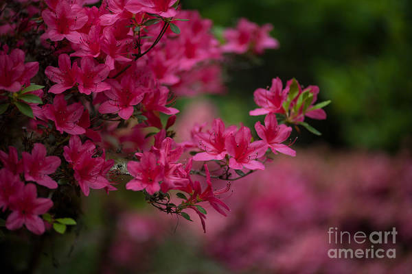 Rhododendrons Photograph - Vivid Group by Mike Reid