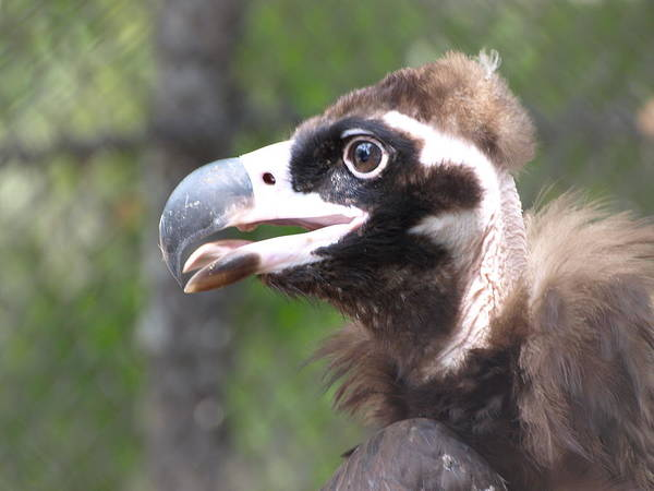 Photograph - Vulture 1 by Jeffrey Peterson