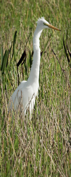 Photograph - Wading Great Egret by Patrick M Lynch