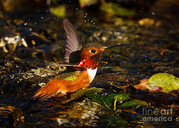 Selasphorus Photograph - Wading In The Water by Carl Jackson