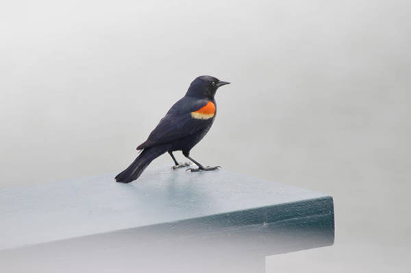 Red-winged Blackbird Wall Art - Photograph - Waiting by Julie Palencia