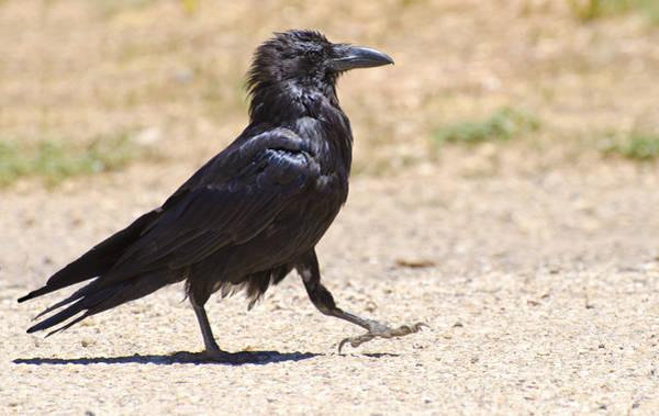 Photograph - Walk Like A Raven by Loree Johnson