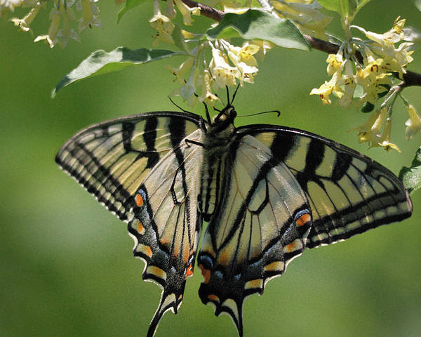 Swallowtail Photograph - Warpaint by Susan Capuano