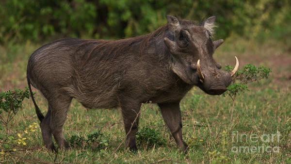 Photograph - Warthog by Mareko Marciniak