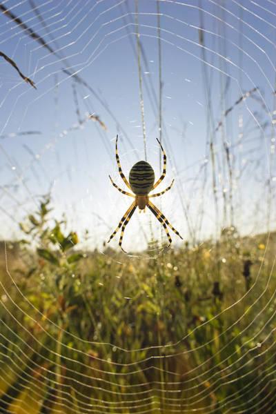 Daddy Long Legs Photograph - Wasp Spider Argiope Bruennichi In Web by Konrad Wothe