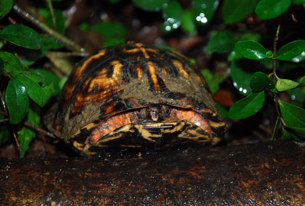 Painted Turtle Photograph - Watcher by Skip Willits