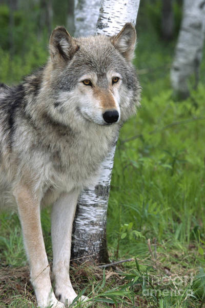 Timberwolves Photograph - Watchful Eyes by Sandra Bronstein