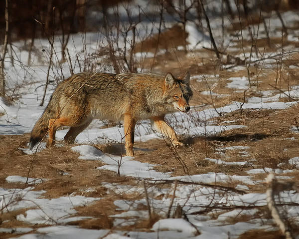 Coyote Photograph - Watching Me Watching You by Susan Capuano