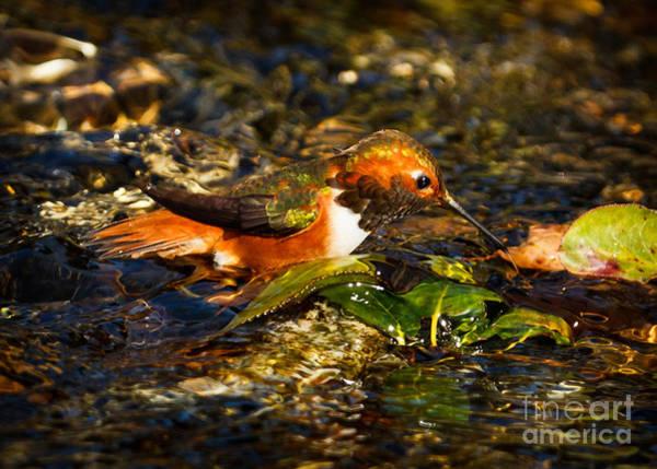 Selasphorus Photograph - Water Break by Carl Jackson